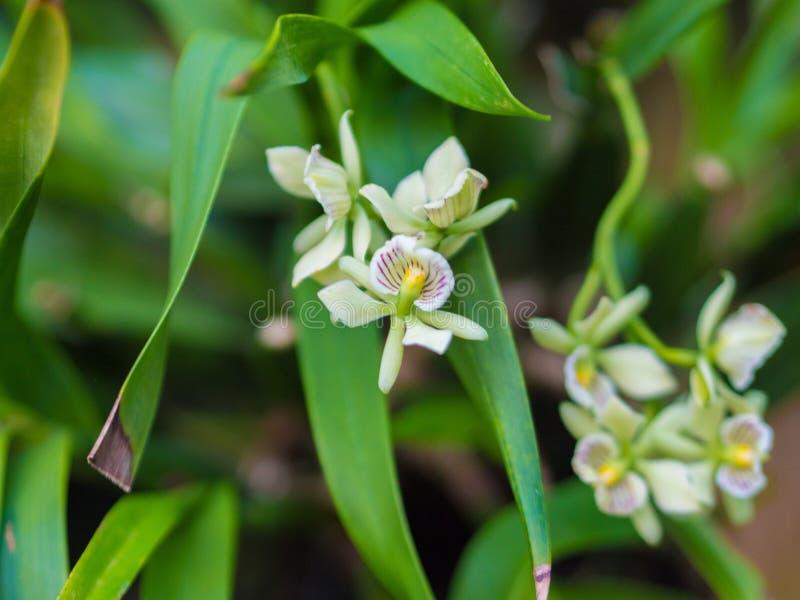 Close-up van de Orchideebloem van Encyclia Radiata stock afbeeldingen