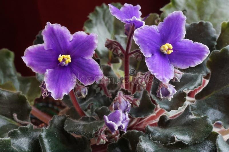 Close-up van de purpere bloemen van Afrikaanse Violet Saintpaulia royalty-vrije stock afbeeldingen