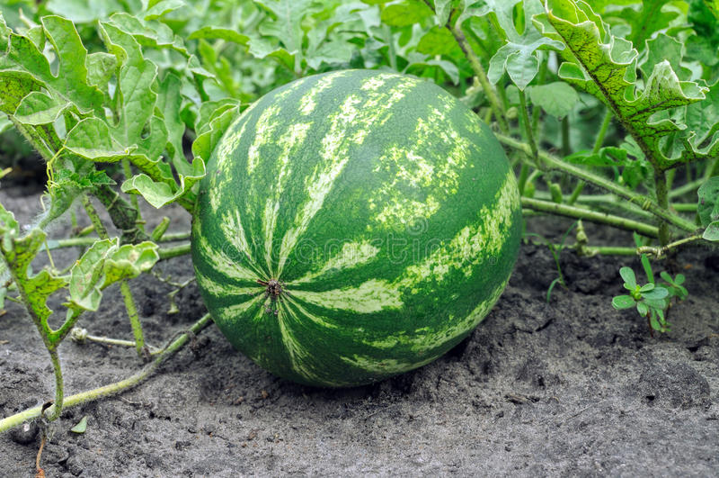 Close-up van de rijpende watermeloen royalty-vrije stock afbeeldingen