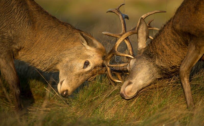 Close-up van de Rode strijd van het hertenmannetje royalty-vrije stock afbeelding