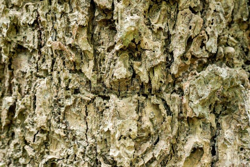 Close-up van de shell oppervlakte van de boom Zie duidelijk het patroon royalty-vrije stock foto