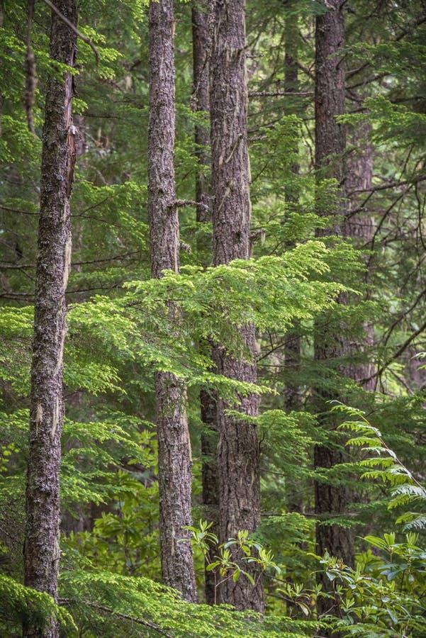 Close-up van de sparrenboomstammen en takken van Douglas in bos royalty-vrije stock foto