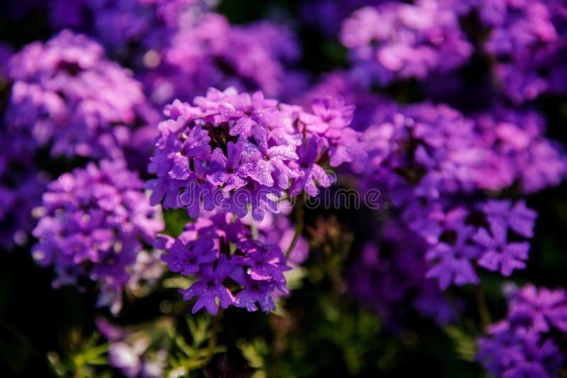Close-up van de struik met purpere bloemen stock foto's