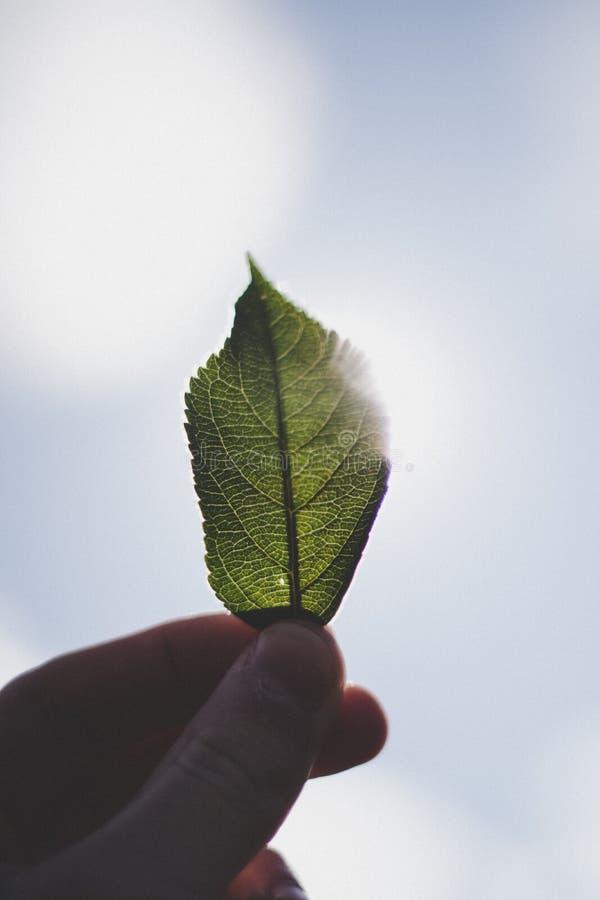 Close-up van de vingers die van een persoon een klein groen blad houden tegen de hemel op de achtergrond stock foto