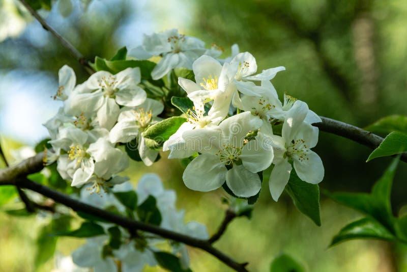Close-up van de witte bloemen van de appelboom op vage groene tuinachtergrond royalty-vrije stock afbeeldingen