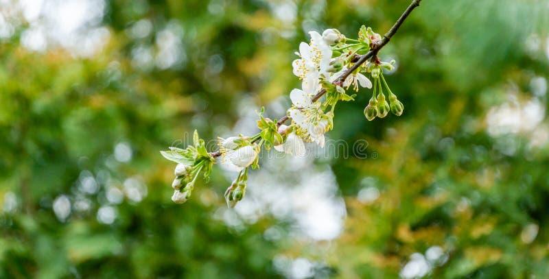 Close-up van de witte bloesem van kersenbloemen tegen de groene achtergrond royalty-vrije stock foto's