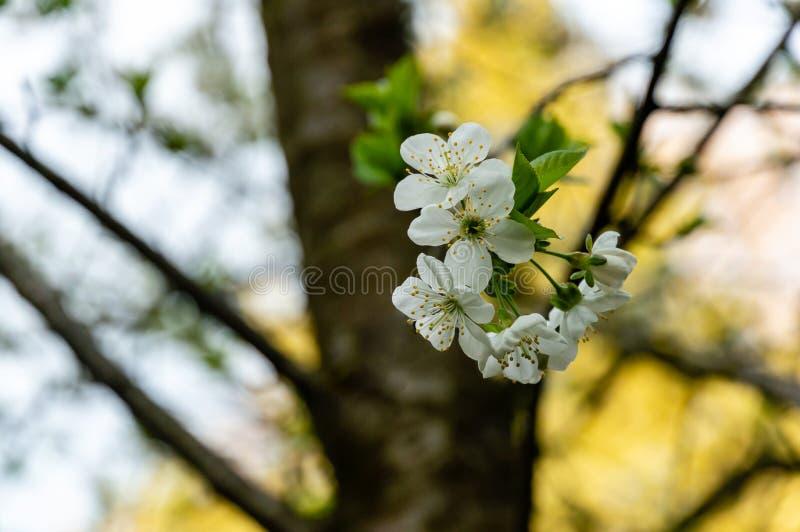 Close-up van de witte bloesem van kersenbloemen tegen de groene achtergrond Heel wat witte bloemen in de lentedag royalty-vrije stock fotografie
