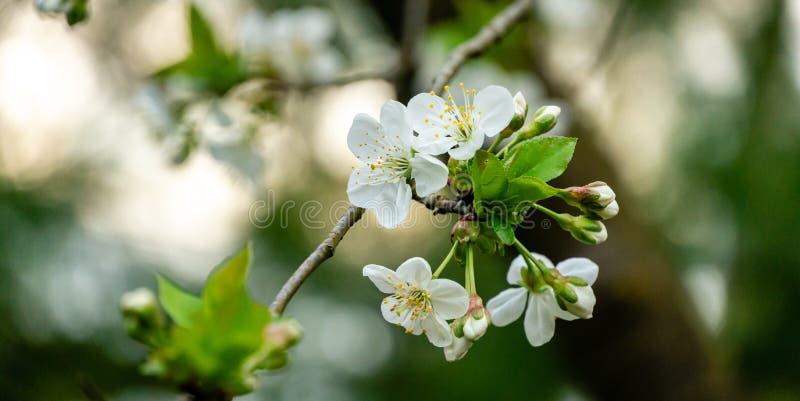 Close-up van de witte bloesem van kersenbloemen tegen de groene achtergrond Heel wat witte bloemen in de lentedag royalty-vrije stock afbeeldingen