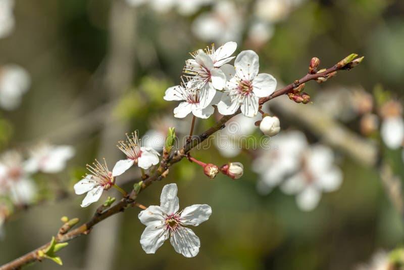 Close-up van de witte bloesem van kersenbloemen tegen vage tuinachtergrond Partij van witte bloemen in zonnige de lentedag stock foto