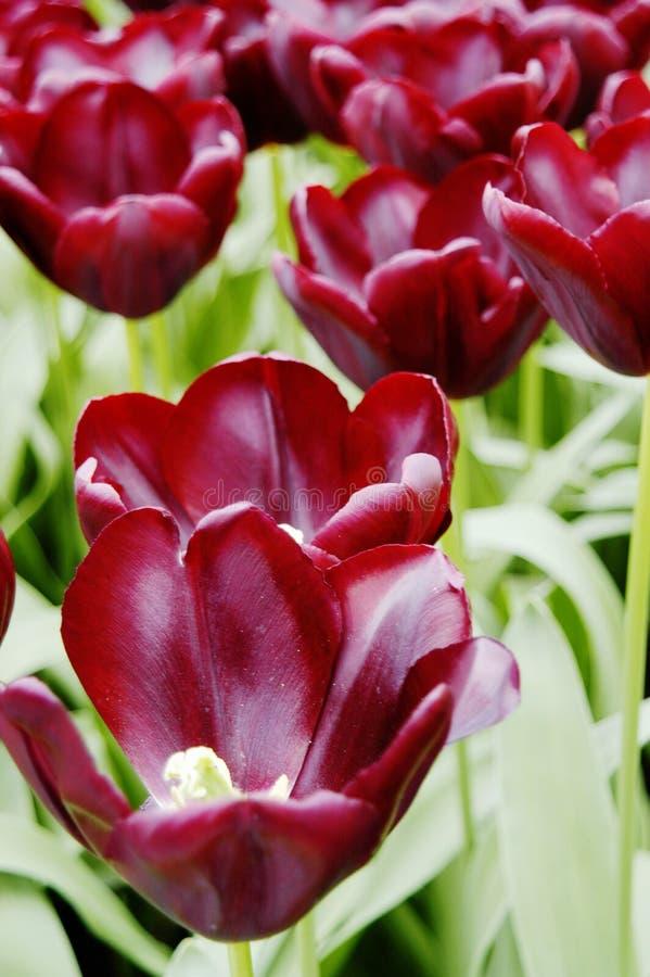 Close-up van donkere kastanjebruine tulpen in Keukenhof, Holland royalty-vrije stock fotografie
