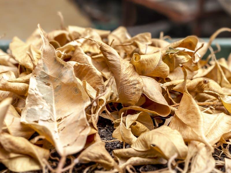 Close-up van Droge Gevallen Gele Bladeren van Ficus Benjamina, het Huilen Fig., Benjamin Fig, Ficusboom of Ficus in de Pot stock afbeelding