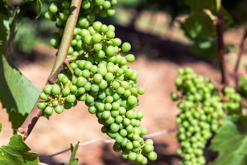 Close-up van druiven royalty-vrije stock fotografie