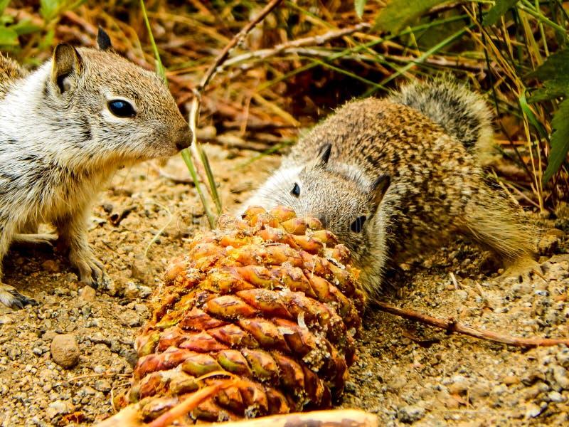 Close-up van 2 Eekhoorns wordt geschoten die stock afbeeldingen