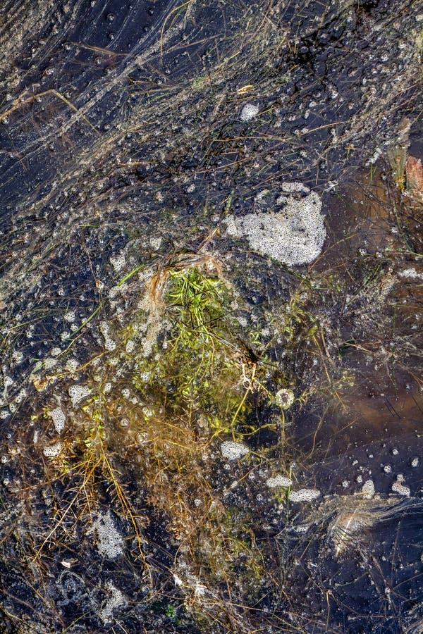 Close-up van een algenachtige bloei van het zoetwater lijden aan strenge eutrophication na een lange hitteperiode tijdens de zome stock fotografie