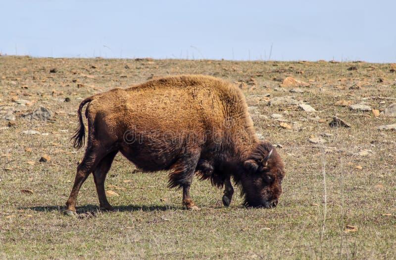 Close-up van een Amerikaanse Bizon die van stierenbuffels gras op een rotsachtige helling met de horizon dicht achter hem smakken stock afbeeldingen