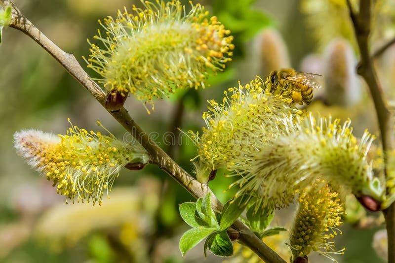 Download Close-up Van Een Bij Die Aan Een Gele Bloem Werken Stock Afbeelding - Afbeelding bestaande uit bloem, gebied: 114226695