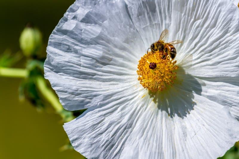 Close-up van een Bij op Witte Stekelige Poppy Wildflower Blossom binnen royalty-vrije stock fotografie
