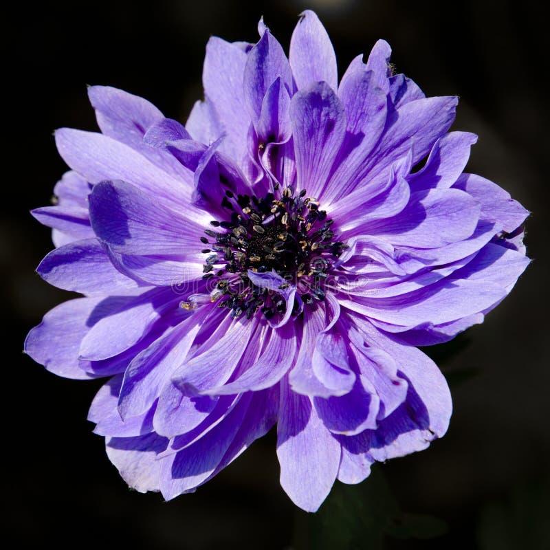 Close-up van een blauwe anemoon royalty-vrije stock fotografie
