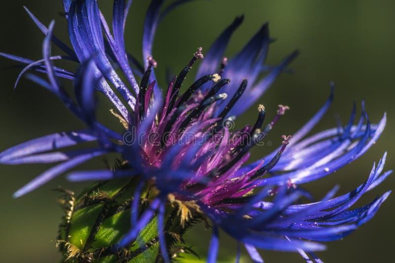 Close-up van een Blauwe bonnetbloem royalty-vrije stock foto