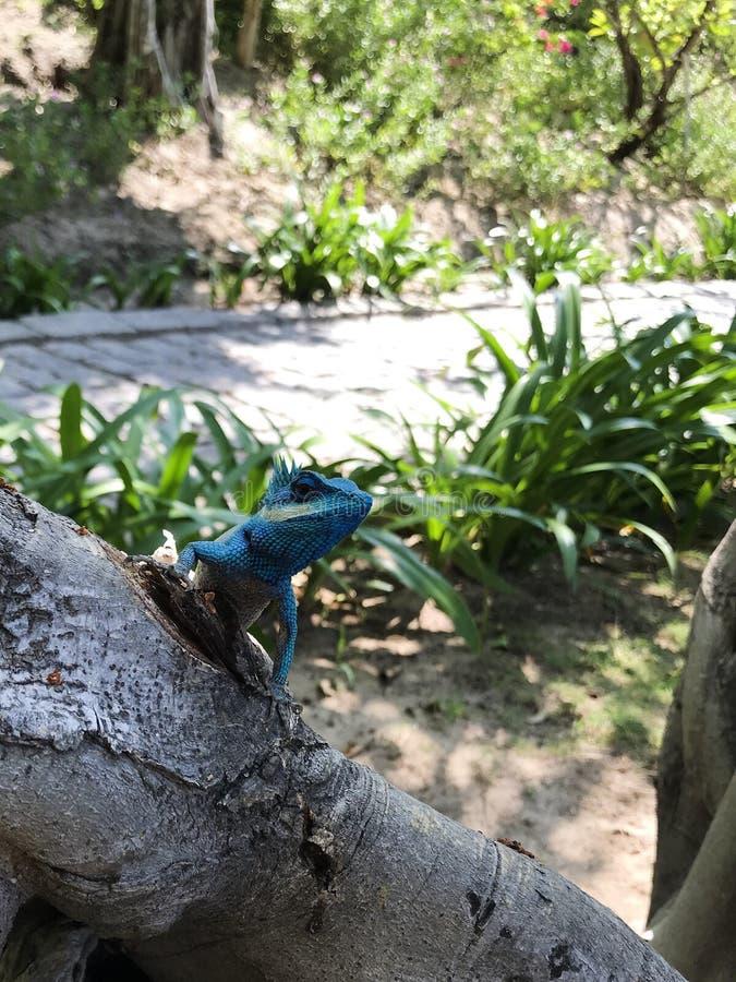 Close-up van een blauwe hagedis op een boom in Vietnam royalty-vrije stock afbeeldingen