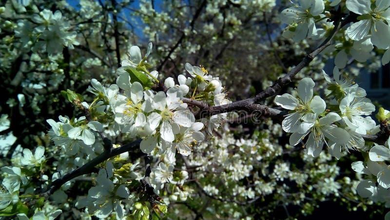 Close-up van een bloeiende kers Witte bloemen tegen groene bladeren, bruine takken stock afbeelding