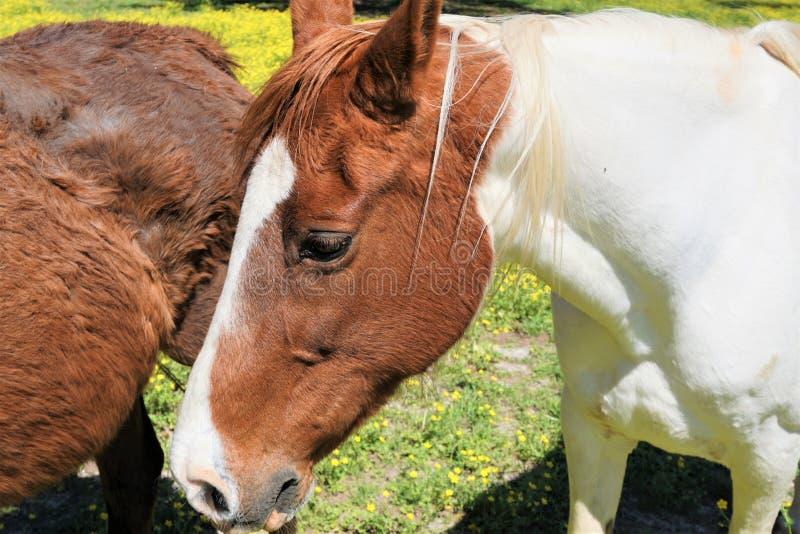 Close-up van een bruin en wit paard royalty-vrije stock fotografie