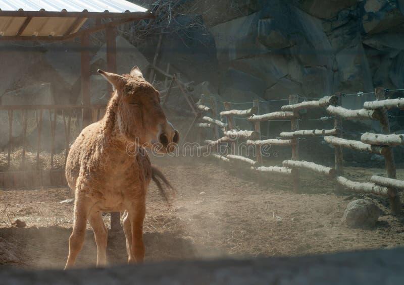 Close-up van een bruine ezel in een landbouwbedrijf dichtbij de houten omheining wordt geschoten die royalty-vrije stock afbeelding
