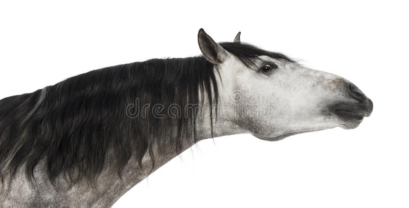 Close-up van een $c-andalusisch hoofd dat, 7 jaar oud, zijn hals uitrekt, die ook als het Zuivere Spaanse Paard wordt bekend of PR royalty-vrije stock fotografie