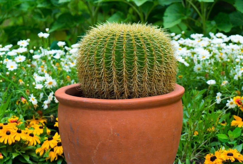 Close-up van een cactus in een pot stock foto