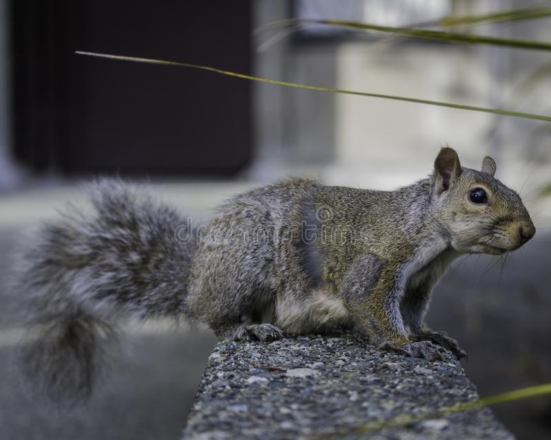 Close-up van een eekhoorn die zich op een richel bevindt royalty-vrije stock afbeeldingen