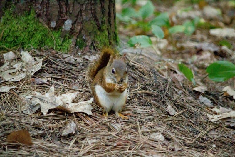 Close-up van een eekhoorn wordt geschoten die in een bos met een natuurlijke achtergrond rusten die stock foto