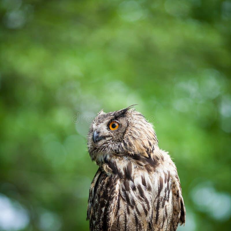 Close-up van een Europees-Aziatische adelaar-Uil royalty-vrije stock foto's