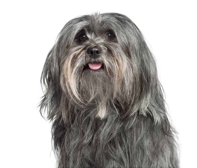 Close-up van een geïsoleerd oude mengen-Rassenhond 5 jaar, stock foto's