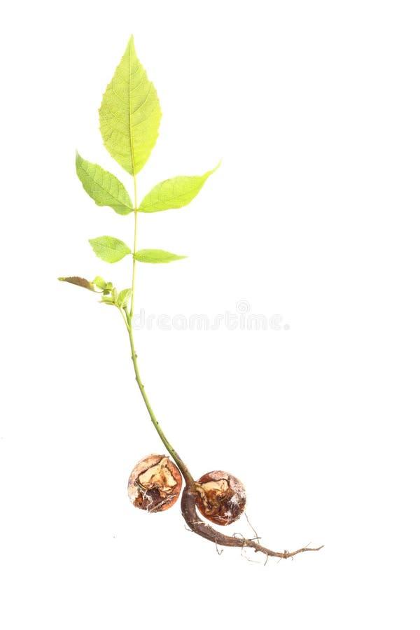 Close-up van een geïsoleerden boom van de Okkernoot stock fotografie