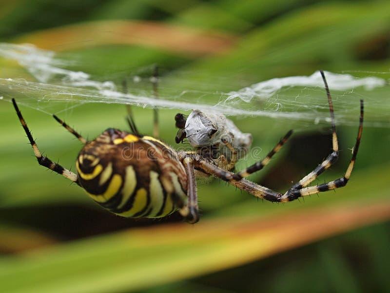 Close-up van een gele gestreepte wespspin in zijn netto spin stock afbeelding