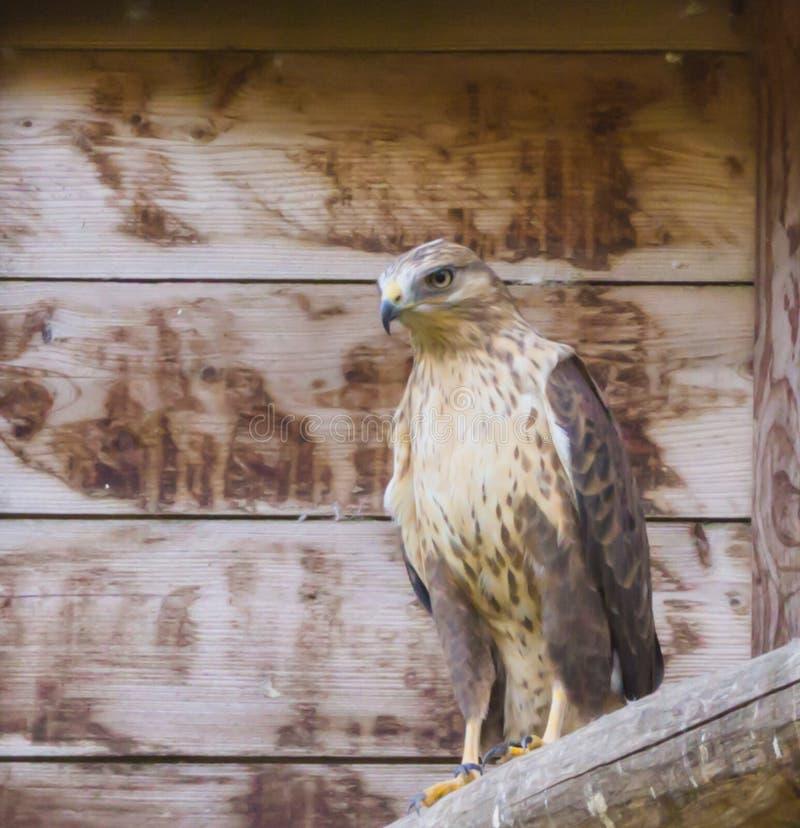 Close-up van een getaande adelaarszitting op een houten pool, een tropische roofvogel van savannas van Afrika royalty-vrije stock foto
