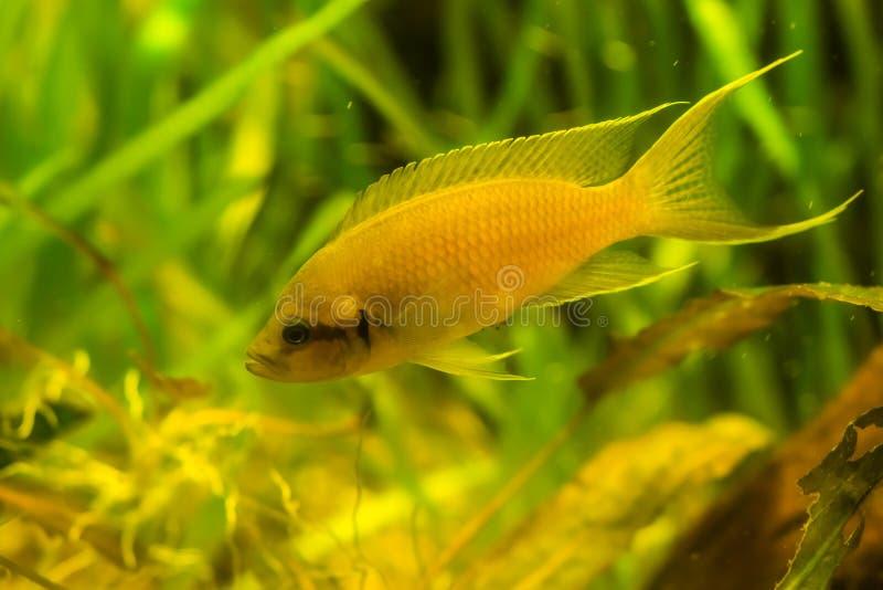 Close-up van een gouden nasuta cichlid, kleurrijk geel sieraquariumhuisdier, tropische vissenspecie van meer Tanganyika in Afrika royalty-vrije stock foto's