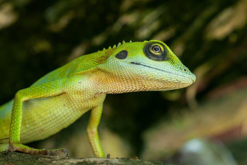 Close-up van een groene hagedis stock foto