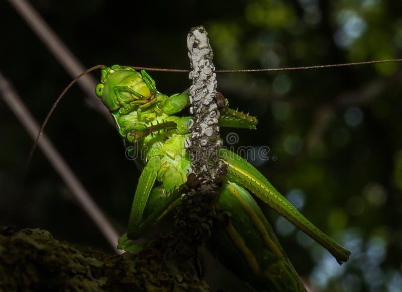 Close-up van een groene sprinkhaan stock fotografie