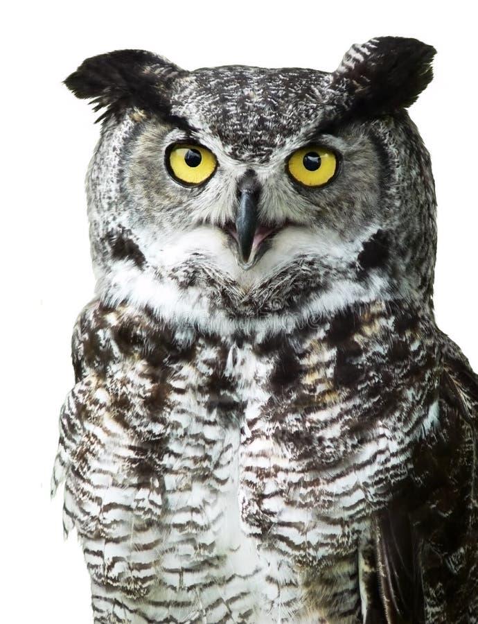Close-up van een Grote Gehoornde Uil die camera bekijkt stock fotografie