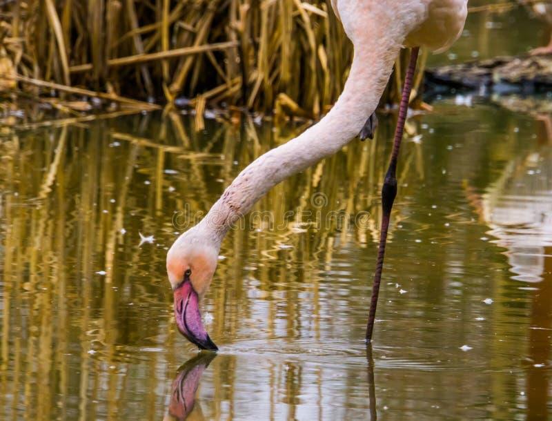 Close-up van een groter flamingo drinkwater uit het meer, kleurrijke vogel van Europa royalty-vrije stock foto