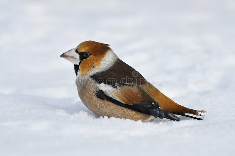 Close-up van een hawfinch, Coccothraustes Coccothraustes stock afbeeldingen
