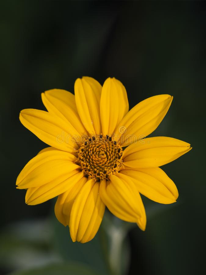 Close-up van een Heldere Gele Rudbeckia of Zwarte Eyed Susan Flower wordt geschoten die stock afbeelding