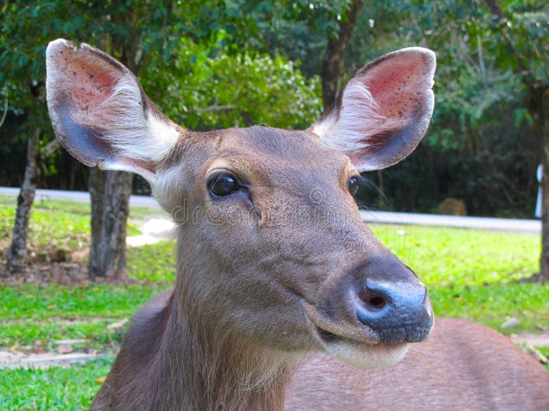 Close-up van een Hert stock foto
