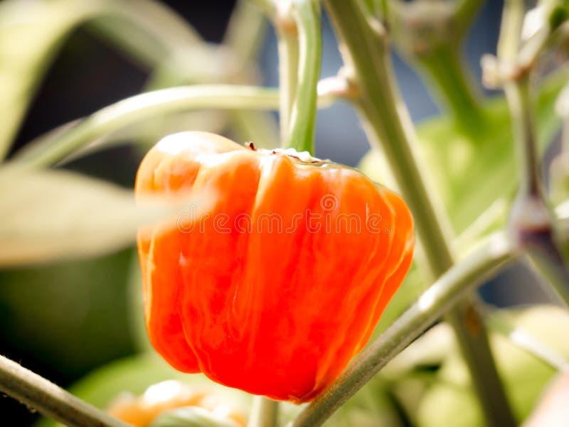 Close-up van een het groeien oranje habanerospaanse peper stock afbeeldingen