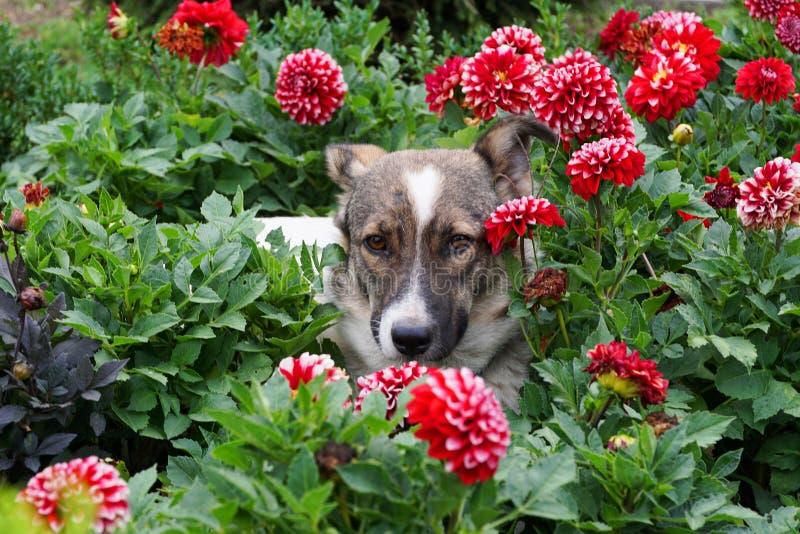 Close-up van een hond in een bloembed in bloemen van dahlia's stock foto's