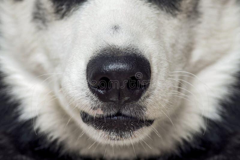 Close-up van een hond` s neus Sluit omhoog geschoten van hondneus Hondneus Mooi Schor hondhoofd royalty-vrije stock afbeeldingen