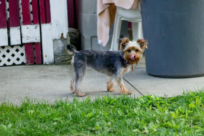 Close-up van een hond wordt geschoten die zijn neus in de binnenplaats likken die royalty-vrije stock afbeeldingen