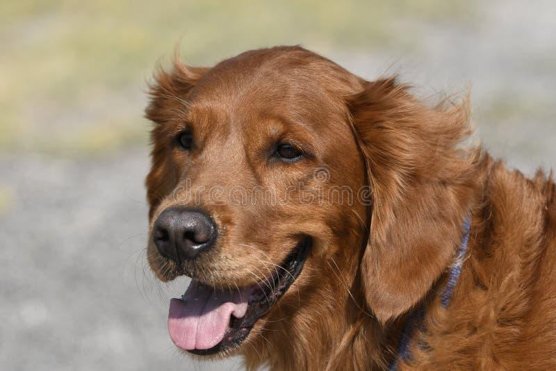 Close-up van een hondgolden retriever in Yellowstone royalty-vrije stock foto's