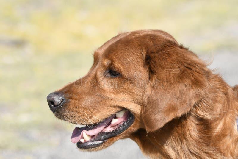 Close-up van een hondgolden retriever in Yellowstone stock fotografie
